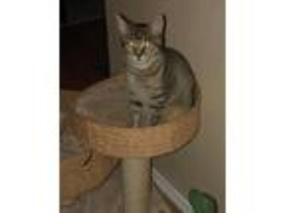 Adopt Lil Bit a Brown Tabby Domestic Shorthair / Mixed (short coat) cat in Fort
