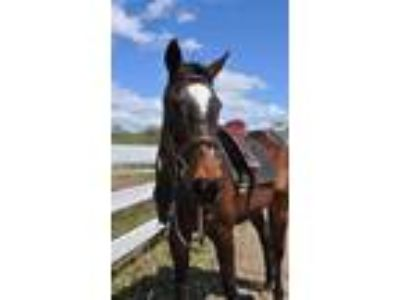 Adopt JULIET a Bay Thoroughbred / Mixed horse in Methuen, MA (23275890)