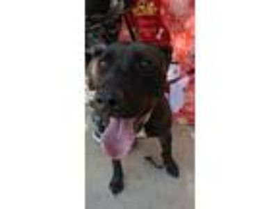 Adopt Boss a Black - with White American Pit Bull Terrier / Labrador Retriever /