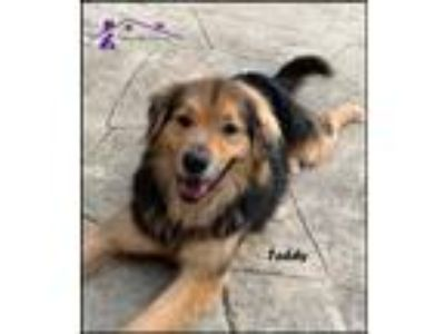 Adopt Teddy a Black - with Tan, Yellow or Fawn German Shepherd Dog / Collie /