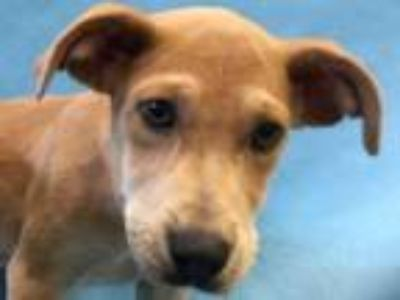 Adopt Dimple a Tan/Yellow/Fawn Shepherd (Unknown Type) / Mixed dog in Golden