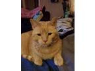 Adopt Sammy a Orange or Red Domestic Mediumhair / Mixed cat in Robards