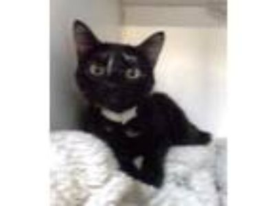 Adopt Tory a All Black Domestic Shorthair / Domestic Shorthair / Mixed cat in