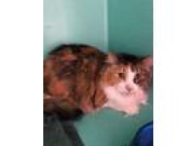 Adopt Thumbs a Orange or Red Domestic Longhair / Domestic Shorthair / Mixed cat