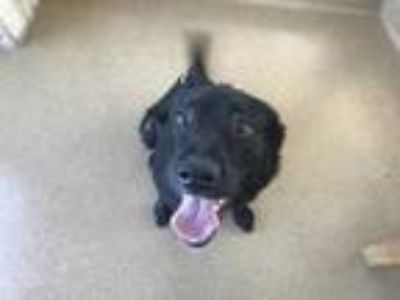 Adopt Max a Black Retriever (Unknown Type) / Mixed dog in Lewisville