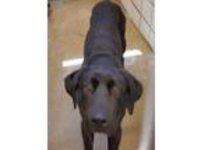 Adopt Jake a Black Labrador Retriever / Mixed dog in Burleson, TX (25045112)