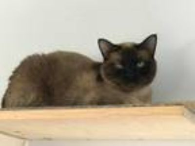 Adopt Zion a Brown or Chocolate (Mostly) Siamese (short coat) cat in Palmdale