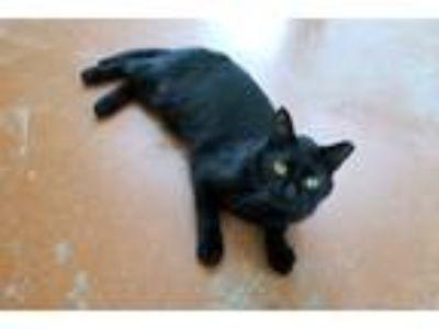 Adopt Puma a All Black Domestic Shorthair (short coat) cat in Durham