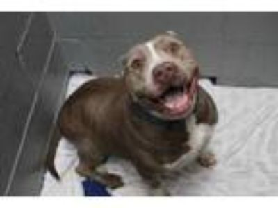 Adopt Princess a Tan/Yellow/Fawn American Pit Bull Terrier / Mixed dog in