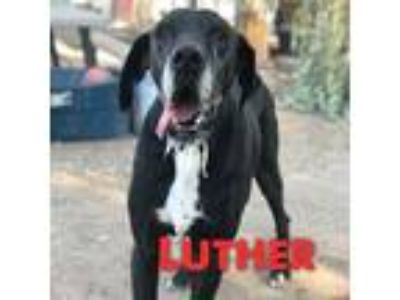 Adopt Luther a Black - with White Great Dane / Mixed dog in Windsor