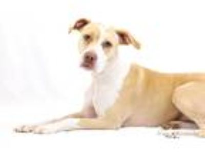 Adopt Laci a Tan/Yellow/Fawn - with White Hound (Unknown Type) / Pit Bull
