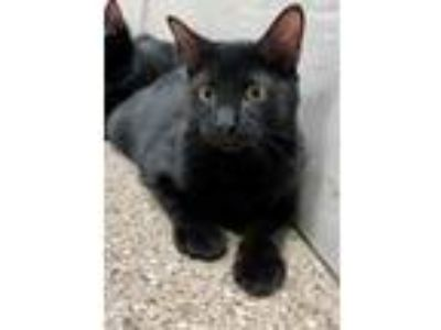 Adopt Smalls a Domestic Short Hair