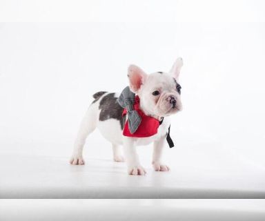 French Bulldog PUPPY FOR SALE ADN-131456 - AMAZING FRENCH BULLDOG MALE PUPPY