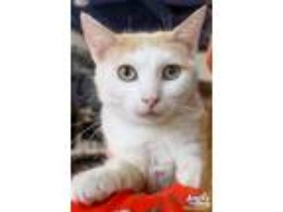 Adopt Angie a White (Mostly) Domestic Shorthair / Mixed (short coat) cat in