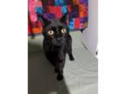 Adopt Night Wing a All Black Domestic Shorthair (short coat) cat in Eastpointe