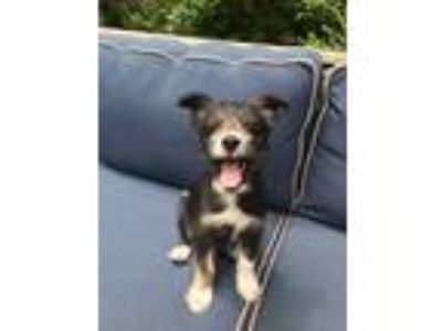 Adopt Curly a Black - with White Schnauzer (Standard) / Border Collie / Mixed