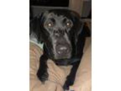 Adopt Oliver a Black Labrador Retriever / Mixed dog in Portage, MI (24509008)