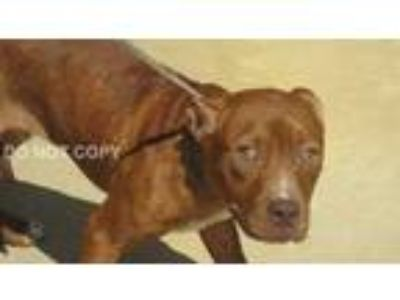Adopt Rowan a Brown/Chocolate - with White Pit Bull Terrier / Mixed dog in Rocky