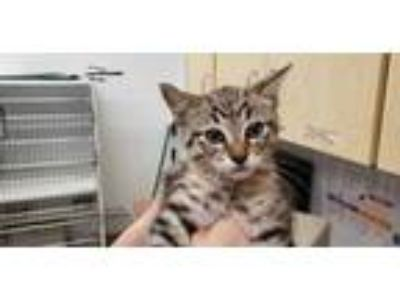 Adopt *FALCON a Brown Tabby Domestic Shorthair / Mixed (short coat) cat in