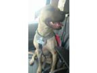 Adopt Yuna a Black Mouth Cur, Pit Bull Terrier