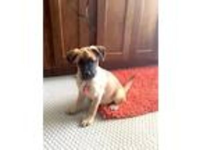 Adopt Carlton -Puppy Foster Needed 6/8 a Pug
