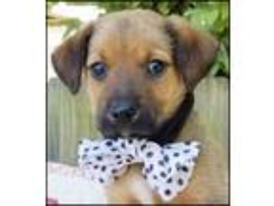 Adopt Avery Puppy - Available June 2nd a Shepherd, Mixed Breed