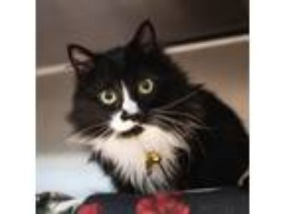 Adopt Seven a All Black Domestic Longhair / Domestic Shorthair / Mixed cat in
