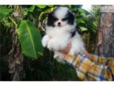 Glamorous pomeranian puppy male, great coat!