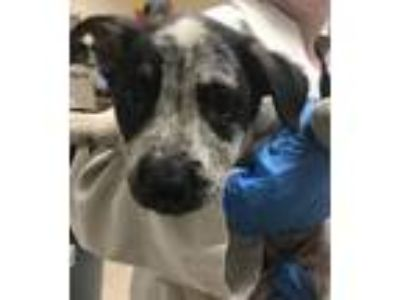 Adopt Yoda a Australian Cattle Dog / Blue Heeler