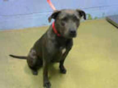 Adopt a Black American Pit Bull Terrier / Mixed dog in Moreno Valley