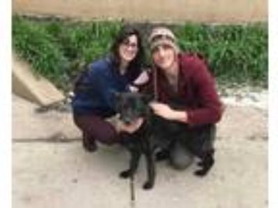 Adopt Abigail a Black Labrador Retriever / Mixed dog in Lowell, IN (25330590)