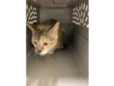 Adopt Barbie a Tan or Fawn Domestic Shorthair / Domestic Shorthair / Mixed cat