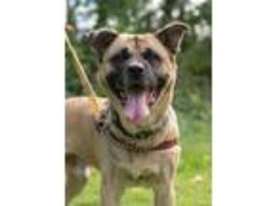 Adopt Links a Shepherd (Unknown Type) / Black Mouth Cur / Mixed dog in