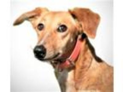 Adopt Salma, playful & lovable little sweetie! (Woodinville) a Greyhound