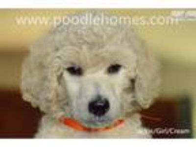 AKC CH Offspring-Cream Standard Poodle girl