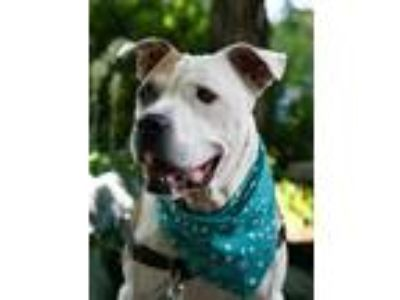 Adopt Haven a Pit Bull Terrier / Mixed dog in North Branch, NJ (24663679)