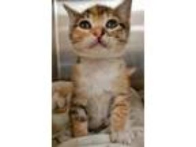 Adopt Chewie a Gray or Blue Domestic Shorthair / Domestic Shorthair / Mixed cat