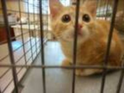Adopt BUTTERS a Domestic Medium Hair