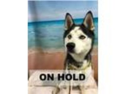 Adopt BALTO a Black Husky / Mixed dog in Tangent, OR (25878438)