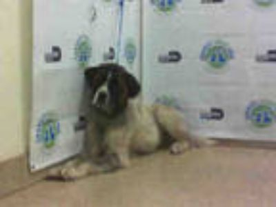 Adopt JACOB a White - with Brown or Chocolate St. Bernard / Mixed dog in Doral