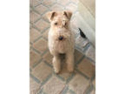 Adopt LUCY - Louisville a Wire Fox Terrier