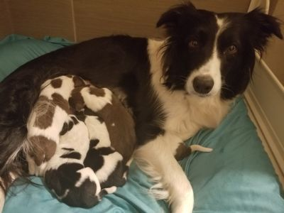 Border Collie PUPPY FOR SALE ADN-108172 - AKC Border Collies