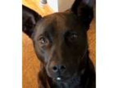 Adopt Jango from Taiwan a Mountain Dog, Labrador Retriever