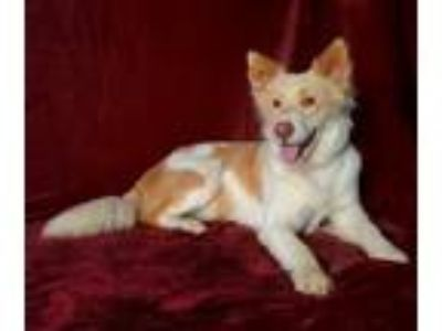 Adopt Alice a White - with Tan, Yellow or Fawn Border Collie / Mixed dog in Van