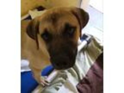 Adopt Topher a Black Mouth Cur / Shepherd (Unknown Type) / Mixed dog in Fort