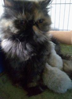 Beautiful Registered  Persian Kittens,Several Colors!