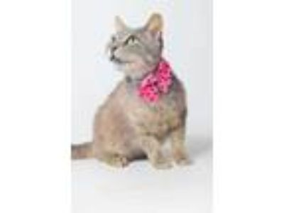 Adopt 19-478C Dolly a Gray or Blue Domestic Shorthair / Domestic Shorthair /