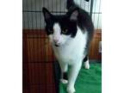 Adopt Sprinkles a Domestic Short Hair