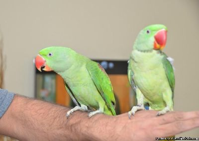Male and female Parakeet birds for sale