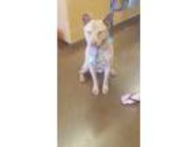 Adopt Angel a Tan/Yellow/Fawn Shar Pei / Chow Chow / Mixed dog in Scottsdale